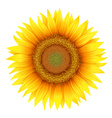 Flower of sunflower with leaves vector image