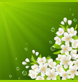 Blossoming branch of cherry vector image vector image