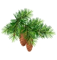 Green fir branch and two cone vector image