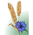 Spikelets and cornflower vector image