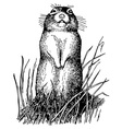 little ground squirrel vector image