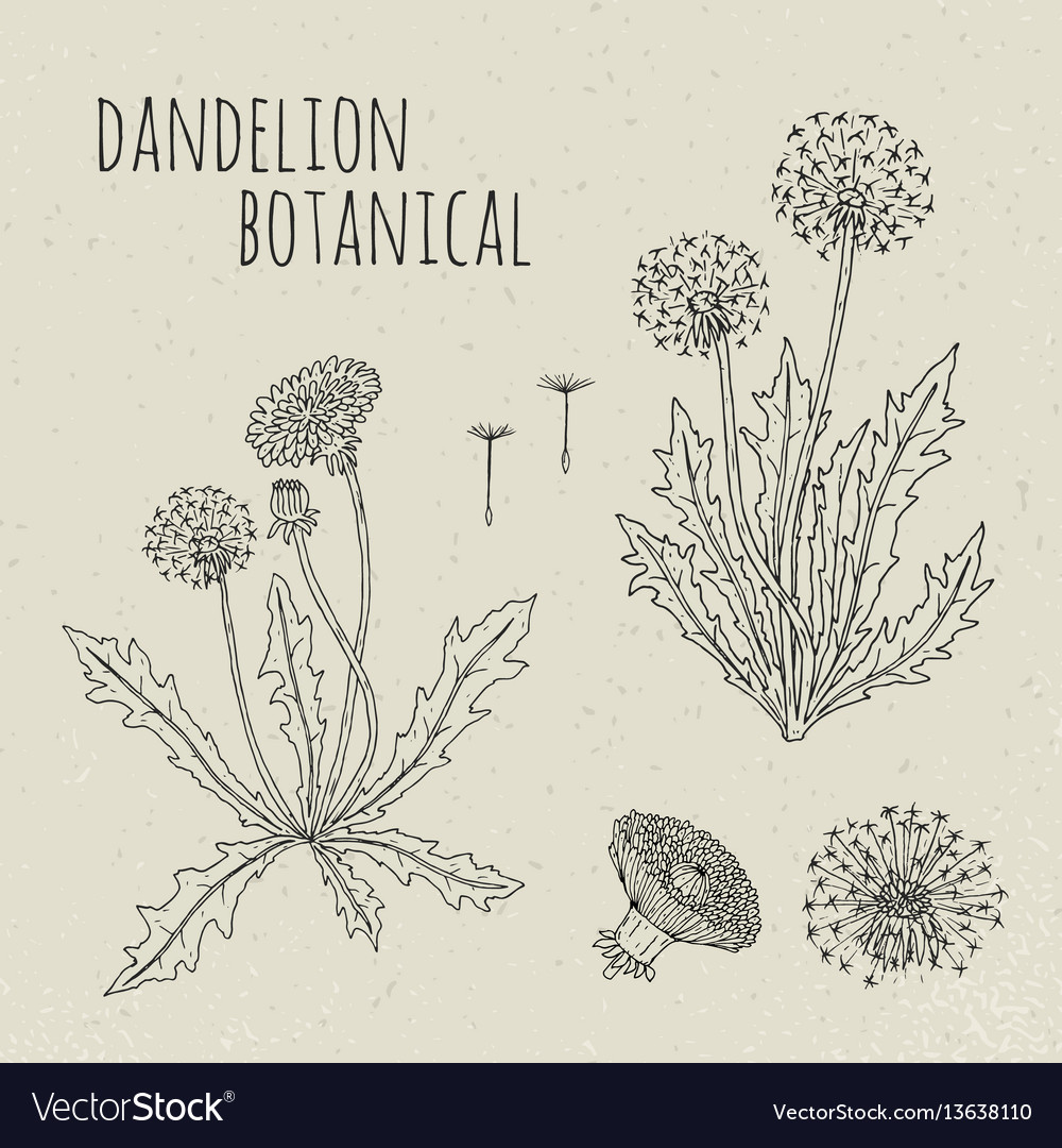 Dandelion medical botanical isolated vector