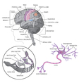 Brain detail with neurons vector image