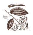 cassia tree sketch vector image