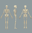 human skeleton chart vector image