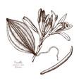 vanilla plant sketch vector image