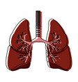 human lungs anatomy medical organ respiration vector image