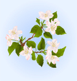 Apple tree branch with flowers vector image