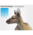 Eastern grey kangaroo vector image