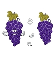 Cartoon ripe blue grape fruits on grapevine vector image