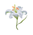 realistic vivid white lily on white vector image