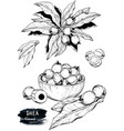 hand drawn sketch of shea nuts plant berry fruit vector image
