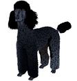 Black Poodle vector image