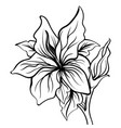 lily sketch flower lily flower hand drawing vector image