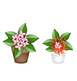 Fresh Red and Pink Ixora in Flower Pots vector image