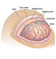Human Brain Layers vector image