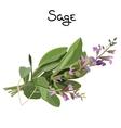 Sage herb vector image