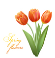 realistic tulips vector image vector image