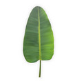 naturalistic colorful leaf of banana palm vector image