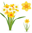 collection of daffodils spring flowers for your vector image