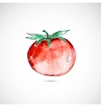 Watercolor painted tomato vector image