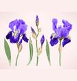 iris set vector image