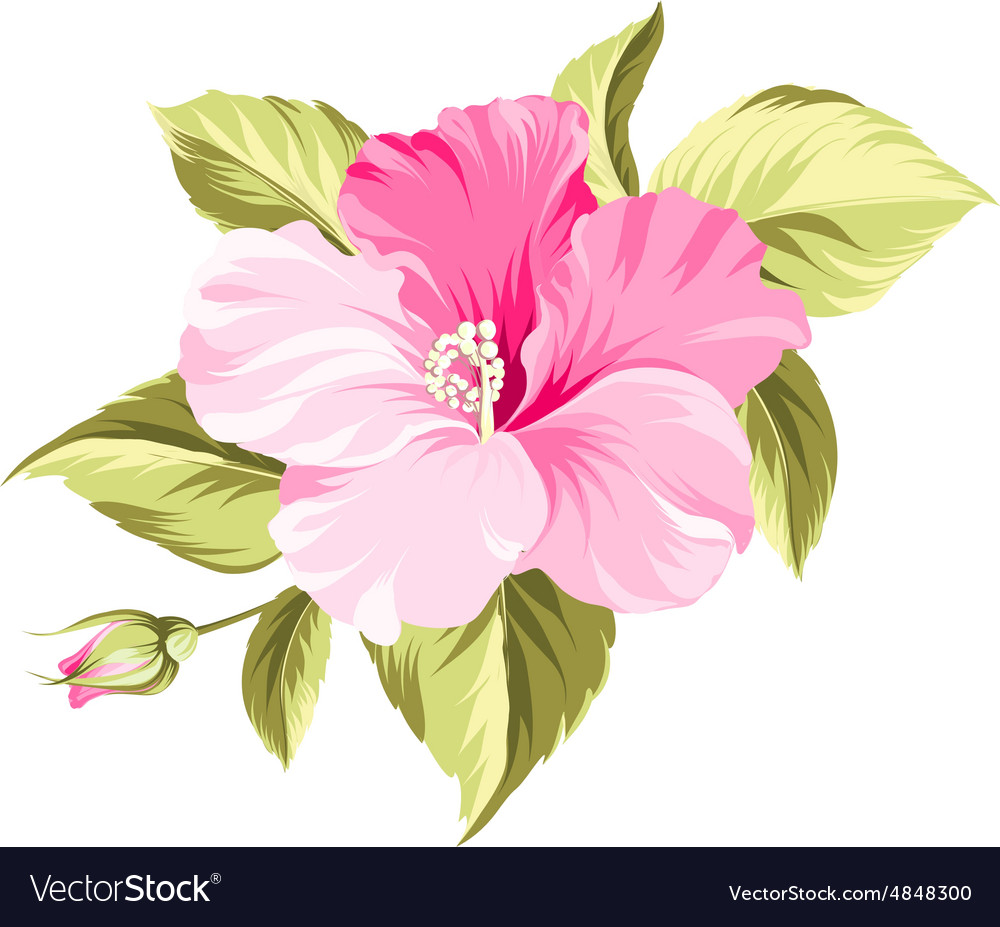 Hibiscus tropical flower vector