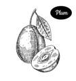 hand drawn sketch style fresh plum vector image