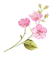 Cherry blossom flowers with leaves vector image vector image