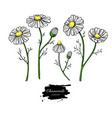 chamomile drawing set isolated daisy wild vector image
