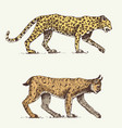 wild cats set leopard and lynx engraved hand vector image