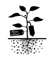 pepper cultivar vector image