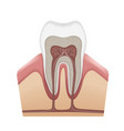 human tooth structure vector image vector image