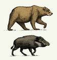 wild bear grizzly and boar or pig engraved hand vector image