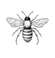 Honey bee vintage drawing hand drawn vector image