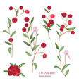 cranberry set detailed hand drawn branches with vector image
