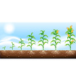 Corn growing from underground vector image