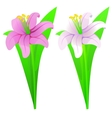 Lilies pink and white vector image