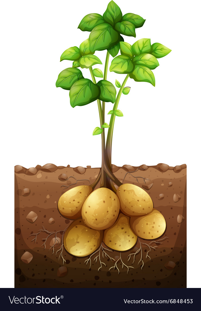 Potatoes plant under the ground vector