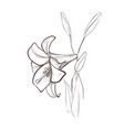 lily sketch drawing of a flower vector image