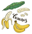 Hand drawing bananas fruit and leaves on a white vector image