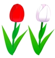 Tulips red and white vector image vector image