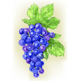 Branch of grapes draw watercolor vector image