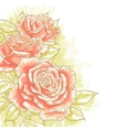 Pink roses on white background vector image vector image