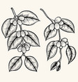coffee branch vector image