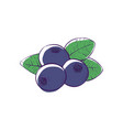 black currant isolated icon vector image