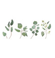 eucalyptus seeded silver tree leaves branches set vector image