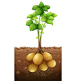 Potatoes plant under the ground vector image
