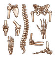 bone and joint of human skeleton sketch set vector image vector image
