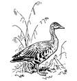 greylag goose vector image vector image
